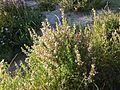 Ononis spinosa subsp. spinosa sl4.jpg