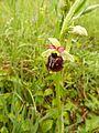 Ophrys × aschersonii 01.JPG