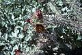 Opuntia versicolor staghorn cholla 3 WPC.jpg