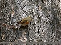 Orange-flanked Bush Robin (Tarsiger cyanurus) (36385378265).jpg