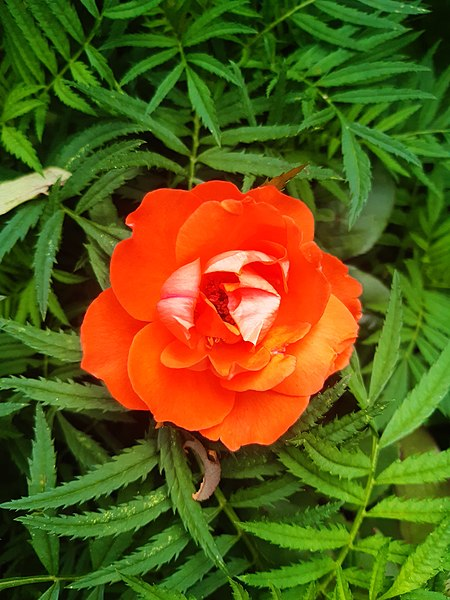 Orange rose - A dark orange-red rose in full bloom, surround by green foliage. Photo by Sabina Bajracharya, via Wiki Free Images.
