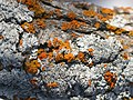 Orange and white lichen.jpg
