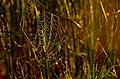 Orb spider web backlit by sunrise Sand Lake Wetland Management District (14612974494).jpg