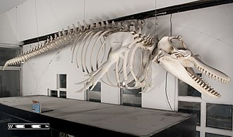 Cetacea - Killer whale skeleton