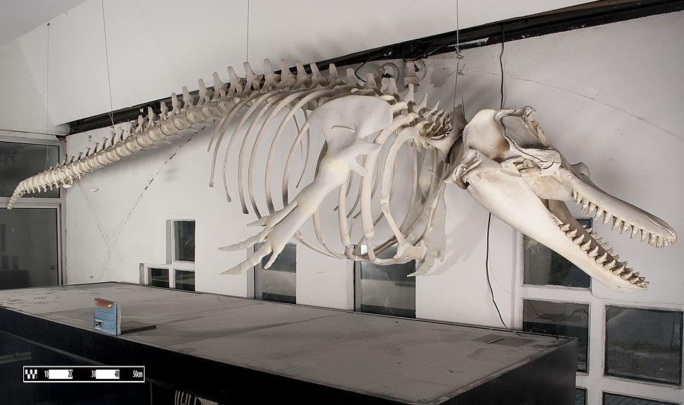 Orca (Killer whale) MAV 01