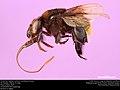 Orchid bee (Apidae, Eufriesea schmidtiana (Friese)) (37141704752).jpg