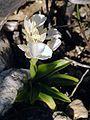 Orchis papilionacea var. alba Rhodos 03.jpg