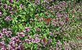 Oregano-Origanum vulgare Wild Marjoram.jpg