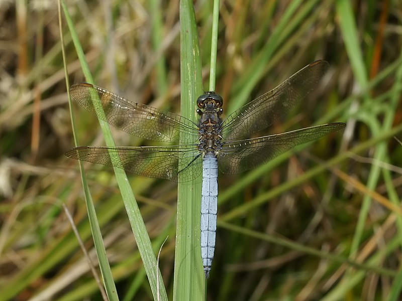 Keeled Skimmer close to Brigueuil, Charente, France