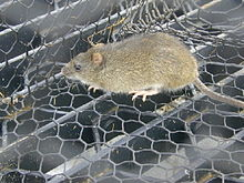 Rat, yellow–brown above and white below, walking on mesh.