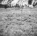 Ostrgača (kou z roglji), okoli nje razloženo seno, Trenta 1952.jpg
