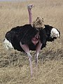 Ostrich Struthio camelus Tanzania 3748 cropped Nevit.jpg