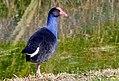 Pūkeko. New Zealand (Porphyrio porphyrio melanotus) (29099149685).jpg