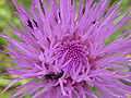 P1000585 Cirsium canum (Queen Anne's Thistle) (Compositae) Flower.JPG