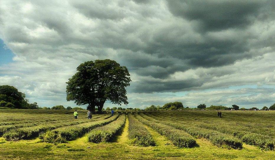 P1260298 Mayfield Lavender Fields..