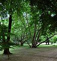 PL - Przeworsk - park w zespole pałacowym Lubimirskich - Kroton 001.jpg