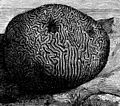 PSM V01 D274 Brain coral.jpg