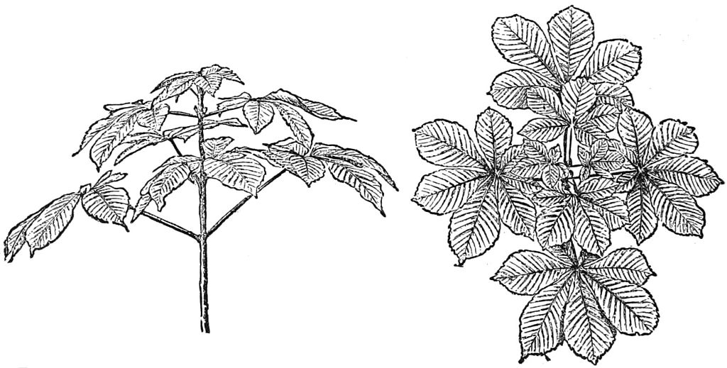 PSM V27 D366 Branch and leaf arrangements of beech and elm trees