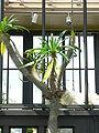 Pachypodium geayi2.jpg