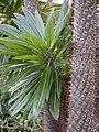 Pachypodium lamerei 2014-10-12 03.jpg