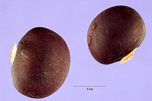 Pachyrhizus ahipa seeds.jpg