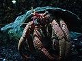 Pagurus bernhardus.004 - Aquarium Finisterrae.JPG