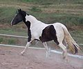 Paint horse in motion by Bonnie Gruenberg.JPG
