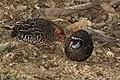 Painted bush quail (Perdicula erythrorhyncha) female (left) and male.jpg