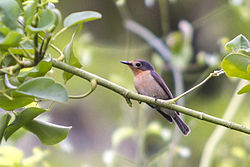 Palau Flycatcher Mangrove Flycatcher Myiagra erythrops photographed on Koror, Palau by Devon Pike in 2013.jpg