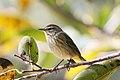 Palm warbler (1).jpg