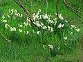 Paperwhites (Narcissus tazetta) (8338494760).jpg