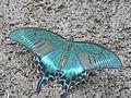 Papilio maackii on Rishiri Island4.jpg