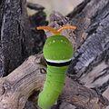 Papilio rutulus extending osmeterium 01.jpg