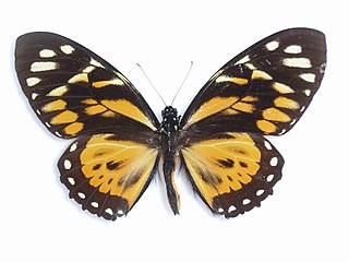 <i>Papilio zagreus</i> species of insect