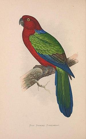 Maroon shining parrot - Image: Parrots in captivity (Vol. 3. PL. 06) Red Shining Parrakeet (8528369314)
