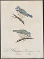 Parus caeruleus - 1800-1812 - Print - Iconographia Zoologica - Special Collections University of Amsterdam - UBA01 IZ16100147.tif