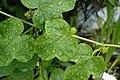 Passiflora foetida6598.jpg