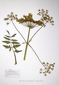 Pastinaca sativa BW-1988-0720-0712.jpg