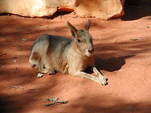 Mara (mammal) - Image: Patagonian Cavy