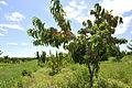 Peach Orchards in Ararat Valley.JPG