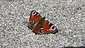 Peacock Butterfly Tagpfauenauge (3871902018).jpg