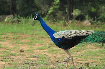 Peacock India.jpg
