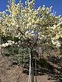 Pear Blossoms (140240151).jpeg