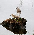 Pectoral sandpiper and lessor yellowlegs (29796493243).jpg