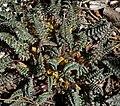 Pedicularis semibarbata ssp charlestonensis 6.jpg