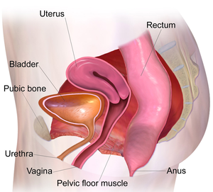 Pelvic Muscles (Female Side) (cropped).png