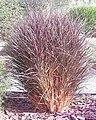 Pennisetum rubrum.jpg