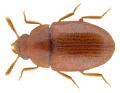 Pentaphyllus testaceus (Hellwig, 1792).png