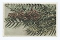 Pepper Tree Blossoms and Berries, Carifornia (NYPL b12647398-74208).tiff