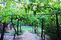 Pergola Vineyard Argentina.jpg